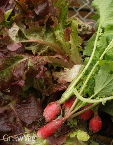"""""""Lettuce"""
