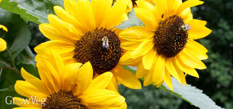 Growing sunflowers for bees