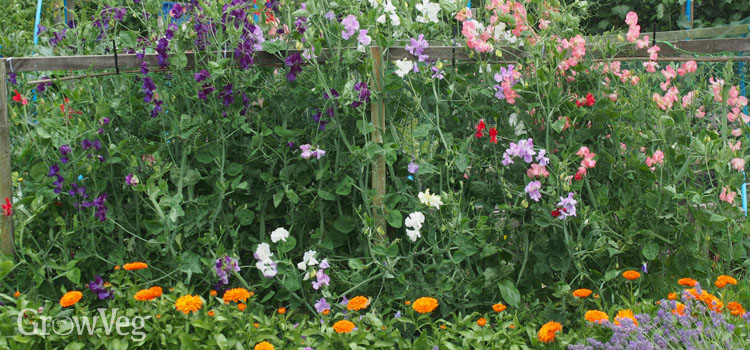 Sweet peas, marigolds and lavender growing in an allotment