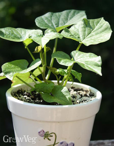 Growing sweet potatoes in a pot