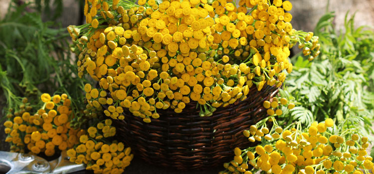 Harvested tansy flowers