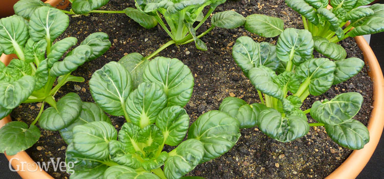 Growing Asian Greens From Sowing To Harvest