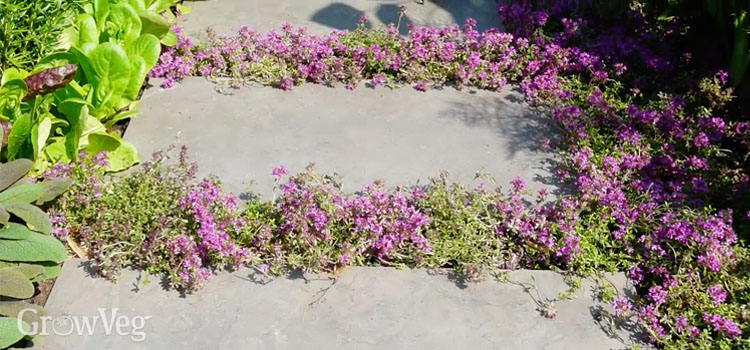 Plant herbs like thyme within paving