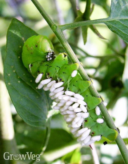 Braconid wasps parasitizing a tomato hornworm