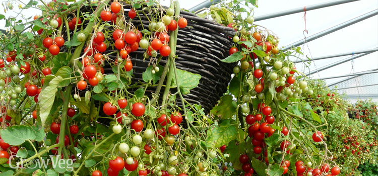 Hanging basket tomatoes