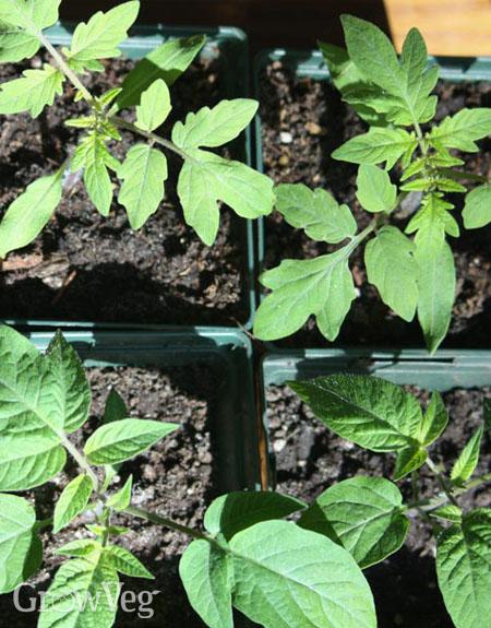 Tomato leaf types