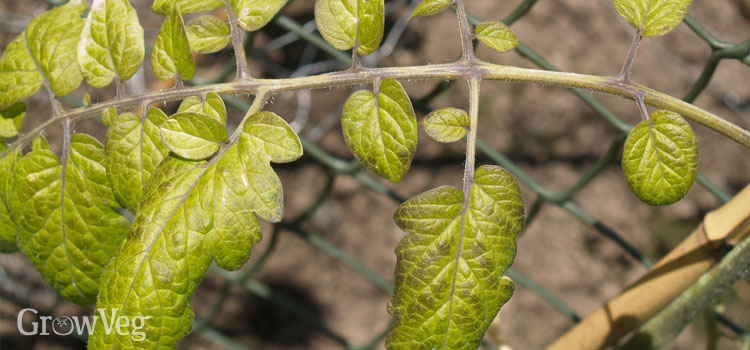 How to Identify and Correct Tomato Nutrient Deficiencies