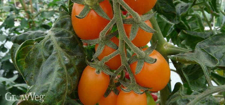 Tomato 'Santorange'