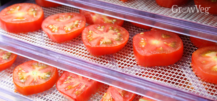 Tomatoes drying on dehydrator trays