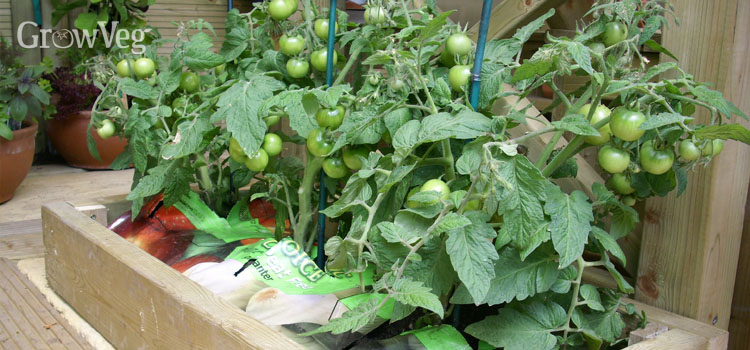 Tomatoes in a growbag