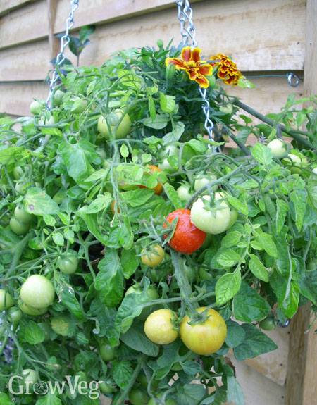 Tomatoes in a hanging basket