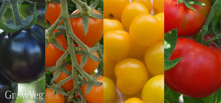 Colourful tomato varieties