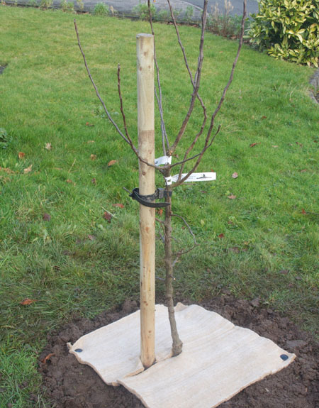 Staking young or dwarf fruit trees is essential in a windy garden