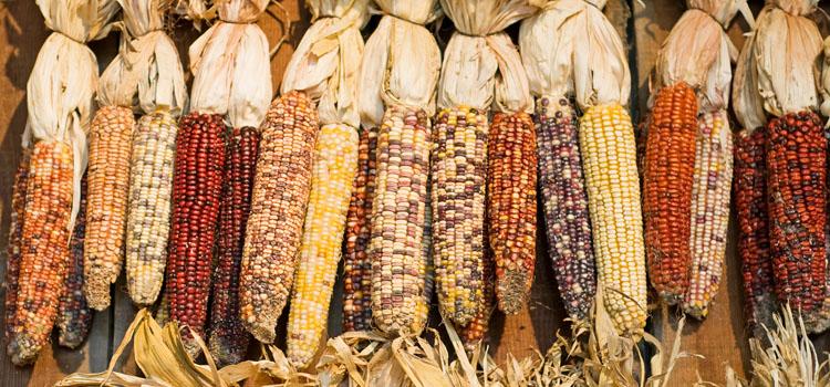 Heirloom varieties of corn