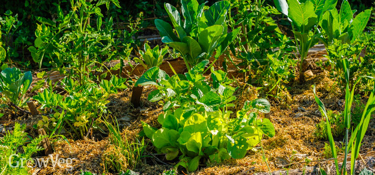 Veggies mulched to preserve soil moisture