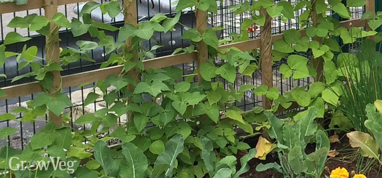 Beans growing vertically up a trellis