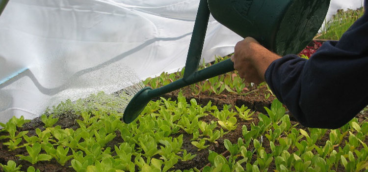 Watering salad seedlings