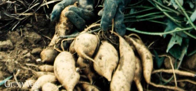 https://s3.eu-west-2.amazonaws.com/growinginteractive/blog/white-sweet-potatoes-2x.jpg