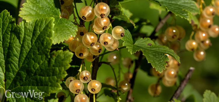 """Whitecurrants"""