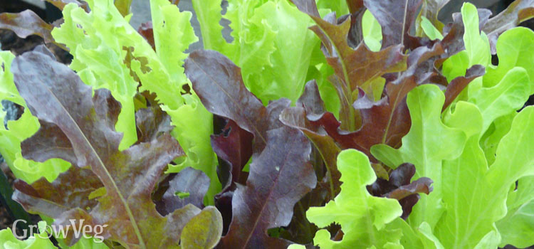 https://s3.eu-west-2.amazonaws.com/growinginteractive/blog/windowsill-salads-herbs-oakleaf-lettuces-2x.jpg