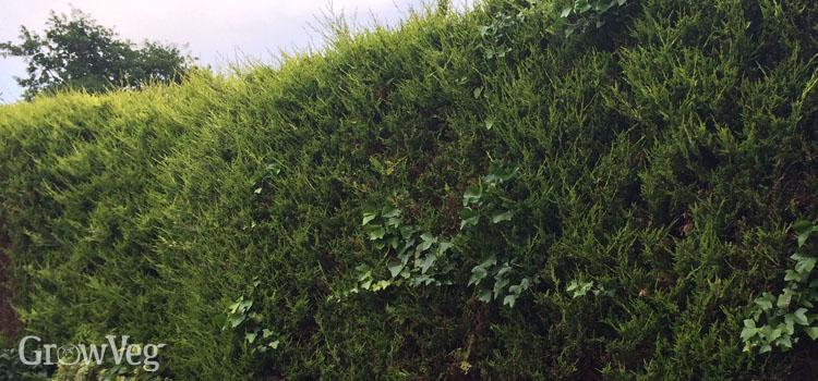 """Hedge"