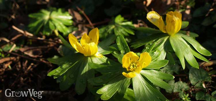 https://s3.eu-west-2.amazonaws.com/growinginteractive/blog/winter-aconites-2x.jpg
