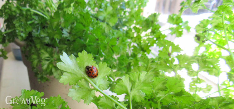https://s3.eu-west-2.amazonaws.com/growinginteractive/blog/winter-parsley-ladybug-2x.jpg