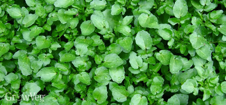 https://s3.eu-west-2.amazonaws.com/growinginteractive/blog/winter-salad-leaves-land-cress-2x.jpg