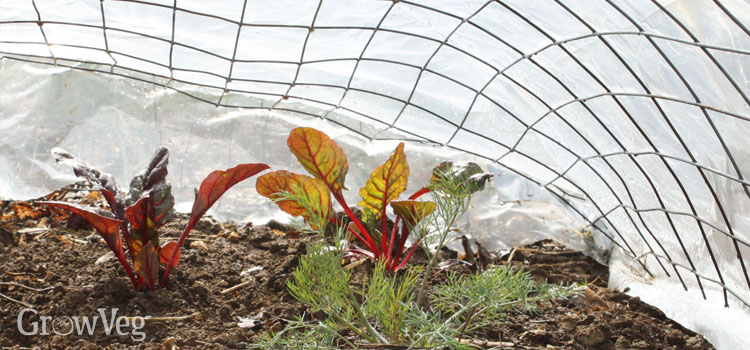 Swiss chard protected by a tunnel cloche made of wire mesh and horticultural fleece.