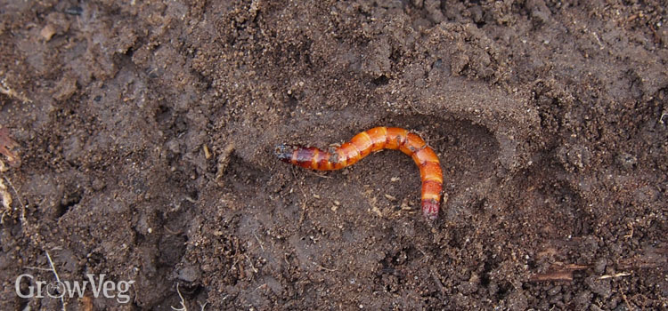 """Wireworm"""
