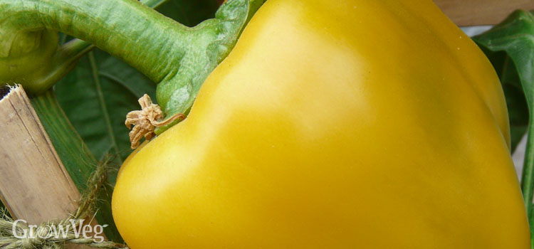 https://s3.eu-west-2.amazonaws.com/growinginteractive/blog/yellow-bell-pepper-2x.jpg