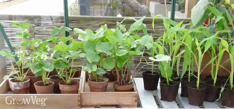Hardening off young plants in the greenhouse
