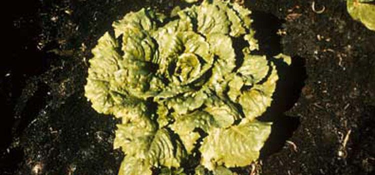 Lettuce Mosaic Virus