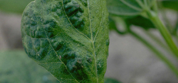 Bean Common Mosaic Virus