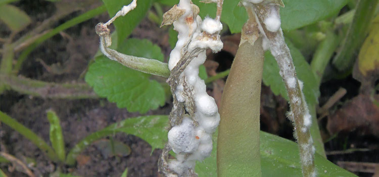 Leaf drop disease on a bean plant