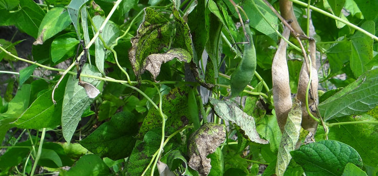 Bean plant badly affected by bean rust