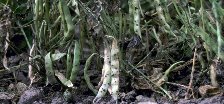Bean rust on pods