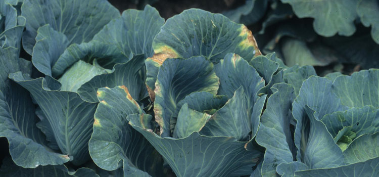 Black rot symptoms on cabbage foliage