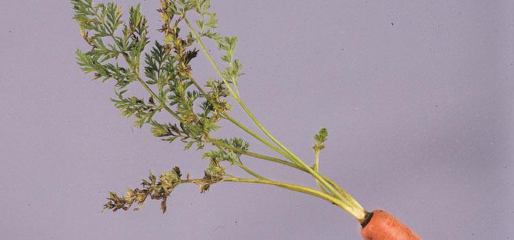 Carrot leaf blight