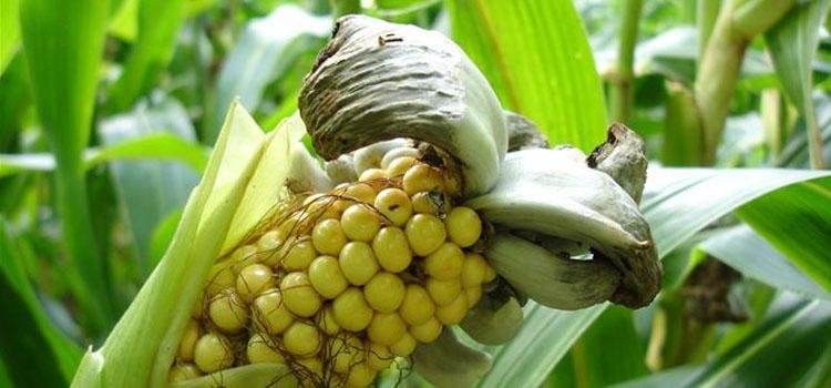 Corn smut