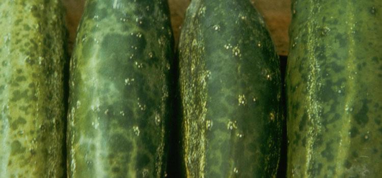 Cucumber mosaic virus