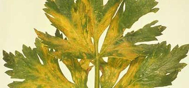 Celery Mosaic Virus