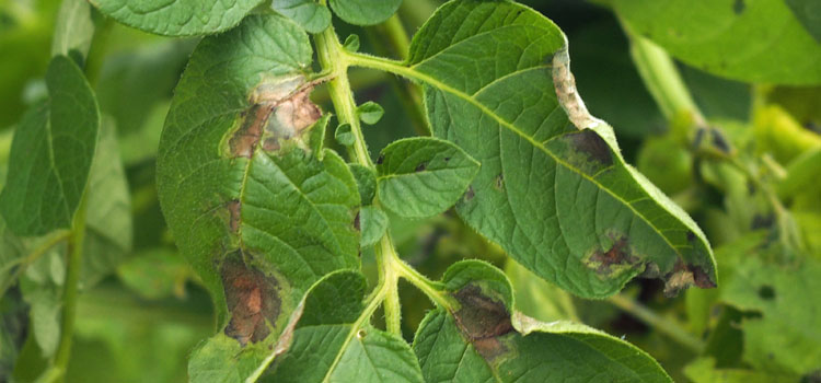Late blight on potato foliage