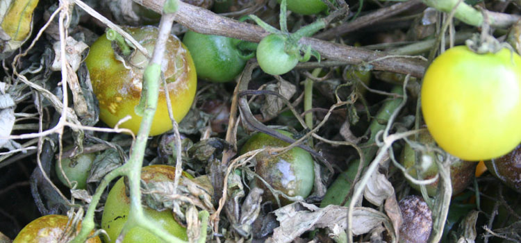 Tomatoes affected by late blight