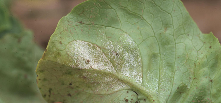 Downy mildew on lettuce