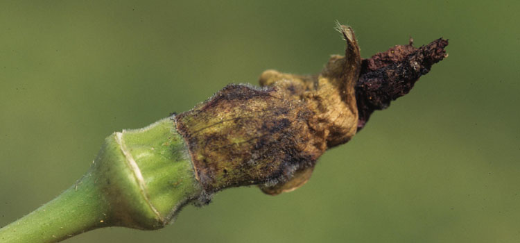 https://s3.eu-west-2.amazonaws.com/growinginteractive/diseases/okra-blossom-blight.jpg