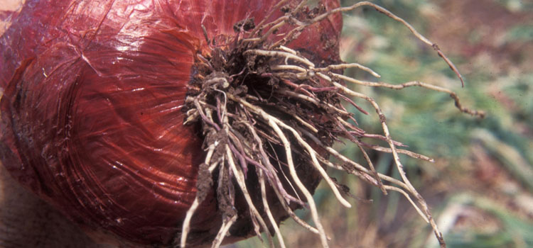 https://s3.eu-west-2.amazonaws.com/growinginteractive/diseases/onion-pink-root.jpg