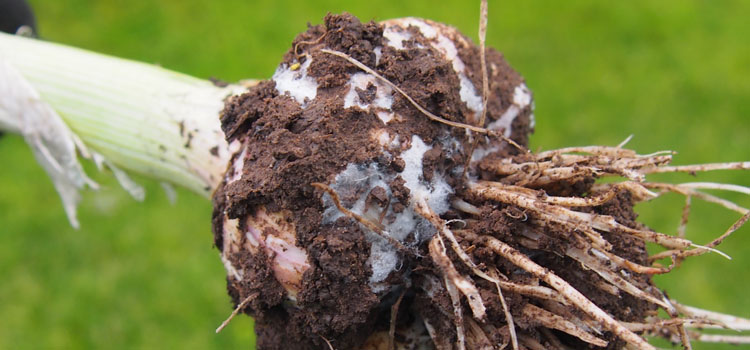 Garlic lightly affected by white rot