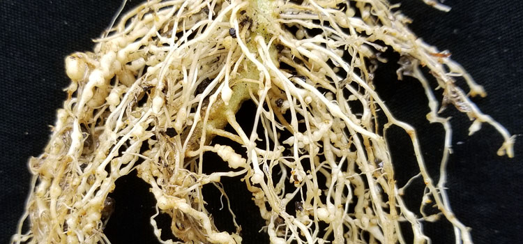Root knot nematodes on a tomato plant