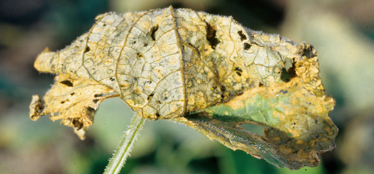 Anthracnose on cucumbers